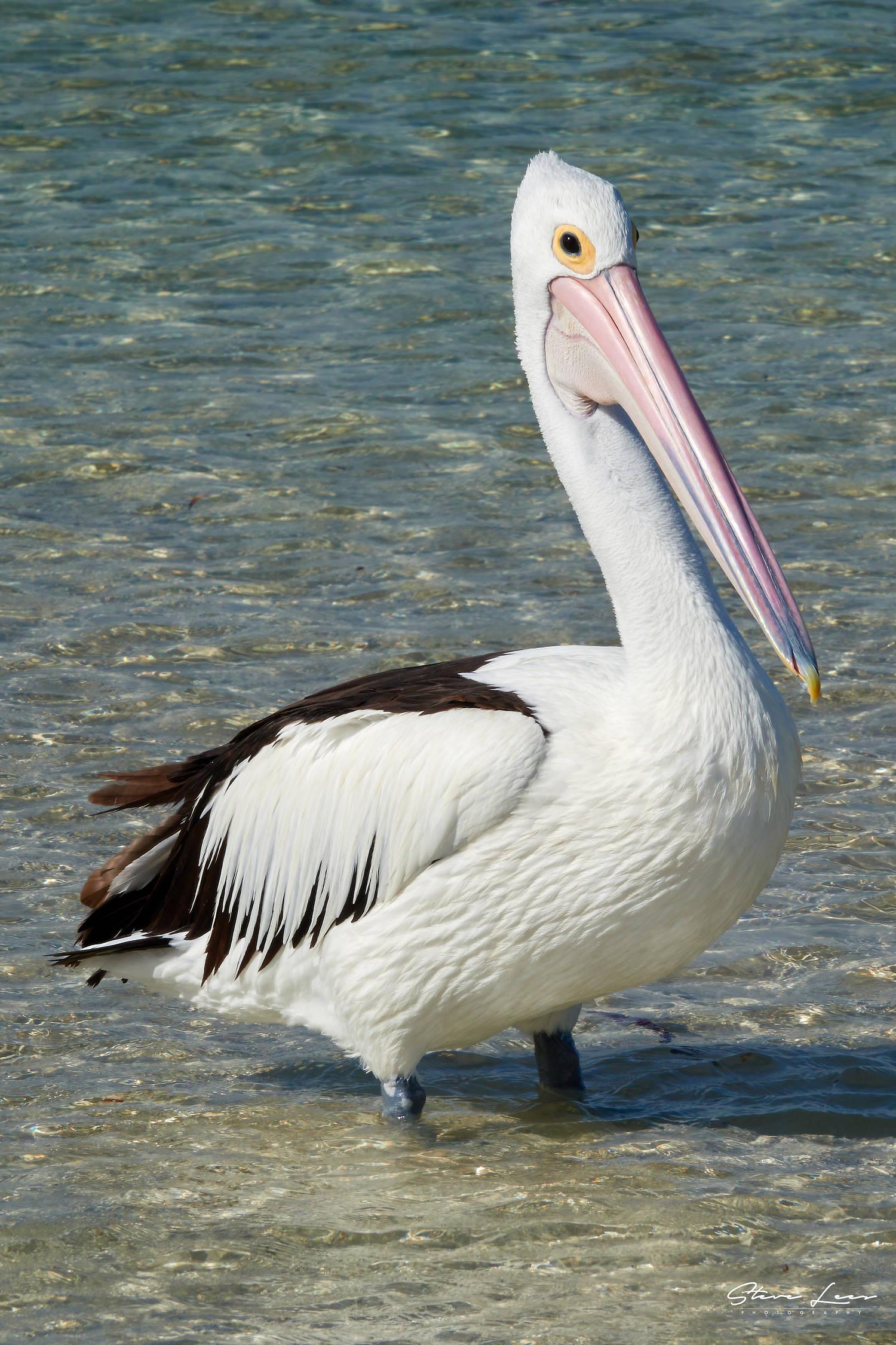 Kangaroo Island Pelican
